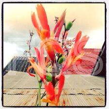 15 x Indica Tropical Canna Seeds. Orange Flower.