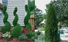 "EMERALD GREEN Arborvitae 3"" pot - (Thuja occidentalis)"
