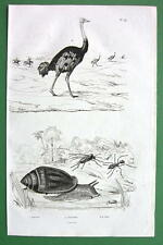 OSTRICH ARNICULA SNAIL - 1836 Copperplate Engraving Print