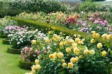 Rose Rosa Grandi Fiori Profumata - Paesaggistica - Cespuglio - STUPENDE vaso 18