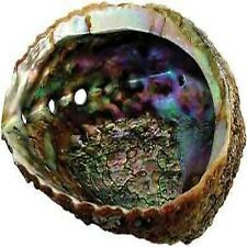 Large Paua Green Abalone Seashell House Gift Decor Smudging Sea Shell Beach