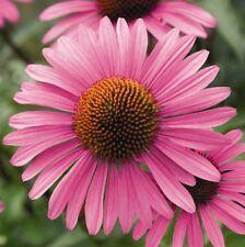Seeds Immunostimulan Echinacea Purple Medicinal Wild Organic Perennial Ukraine