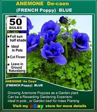 Poppy Anemone de Caen  BLUE -50x Bulbs