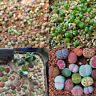 100 Seeds Mixed Lithops Seeds Living Stones Succulent Plant Bonsai Garden Decor