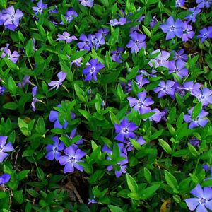 1 X VINCA MINOR SMALL BLUE PERIWINKLE EVERGREEN SHRUB HARDY GARDEN PLANT IN POT