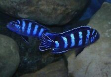 Wet Pets Solihull have stunning F1 Malawi mbuna Juvies for sale some rarer ones.