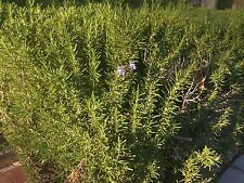 20 fresh cuttings Rosemary herbal culinary spices leaves sprigs, cut to order