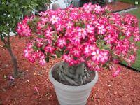 DESERT ROSE (Adenium Obesum) 20 Fresh Seeds, Free Postage