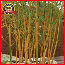 200+ Fresh Chinese Timber Bamboo Seeds Phyllostachys Vivax-Hardy + Instructions