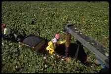 506072 RACCOLTA UVA Concord Upstate NY A4 FOTO STAMPA