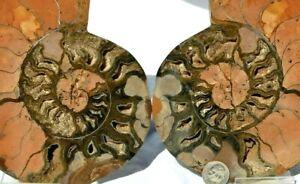 "1n100 BLACK Ammonite Pair Deep Crystals XXLarge 6"" 110myo Dino age 152mm e2190uu"