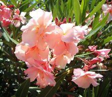 Oleander-Baum Stecklinge schnellwüchsige exotische Pflanzen Deko für den Garten