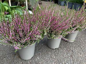 3 X PURPLE HEATHERS CALLUNA COLOURFUL FLOWERING PLANTS 9cm Pots