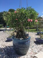 Adenium obesum Desert Rose Last Seedlings from 'BIG SISTER' Plant GR8 Parantage!