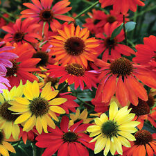 Echinacea Seeds - CHEYENNE SPIRIT - Perennial Coneflower - 30  Seeds     ƸӜƷ