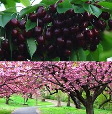 FD1002 Cherry Seeds Mazzard Cherry Prunus Avium Flower Tree Seed Black ~10PCs~