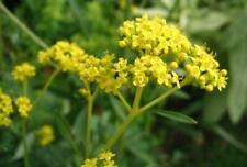 Patrinia scabiosifolia 50 seeds
