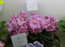 Russiam African Violet Rs- Modniy Vals/ Stalish Valc