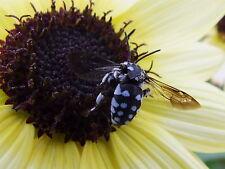 Sunflower Italian White (80 seed)-Organic Heirloom from Life-Force Seeds