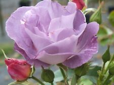 Rose Blue for You - Floribunda - 4 Litre Potted - Direct From The Grower