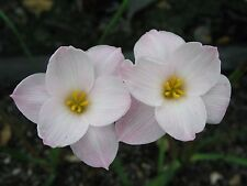 Rain Lily, Zephyranthes morrisclintii Redneck Romance, 2 bulbs, NEW, habranthus