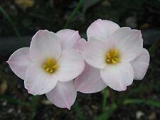 Rain Lily, Zephyranthes morrisclintii Redneck Romance, 2 bulbs, NEW, habranthus