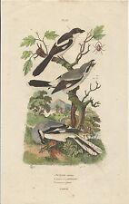 STAMPA ORIGINALE ACQUERELLATA_ E. GUERIN _PIE GRIECHE PL. 533 _ oiseaux _ birds