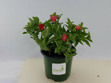"""Ice Plant """"Red Apple"""" Green Leaf ~Red Flowers~ 4 inch pot"""