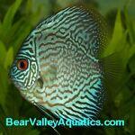 Bear Valley Aquatics