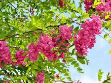 Bristly Locust, Rose Acacia, Rose Locust, Robinia hispida fertilis  20 seeds