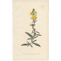 Curtis Botanical Mag. antique 1796 hand-colored engraving Pl 355 Dwarf Oenothera