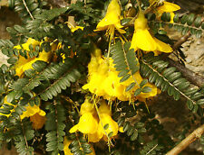 SMALL LEAVED KOWHAI Sophora microphylla LOVELY SHRUB YELLOW FLOWERS ideal bonsai