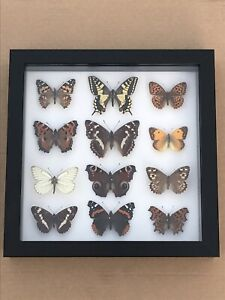A Fine Framed  Collection Of British Butterfly  Specimens Taxidermy Entomology