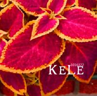 100 PCS Seeds Bonsai Coleus Jazz Ruby Plants Flowers Garden Decoration 2019 New