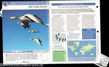 Oie à tête barrée - Anser indicus Bar-headed Goose FICHE OISEAU BIRD