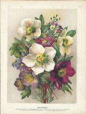 Stampa antica FIORI ELLEBORO HELLEBORUS botanica 1896 Antique print flowers