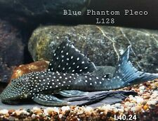 "6""+ PLECO Blue Phantom Catfish Hemiancistrus sp. FREE SHIPPING"