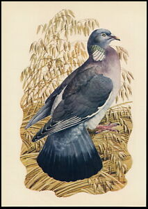 Old Vintage TUNNICLIFFE Wild Bird Art Print WOOD PIGEON Ring Dove Woody Ringdow