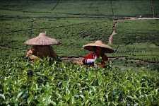 802049 té recolectores de Java Indonesia A4 Foto Impresión