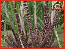 500+ Sugar Cane Seeds, Rum, Syrup, Rock Candy, Sugar Crystal, 6-18 Feet tall