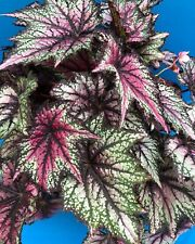 Begonia Robert Golden 6 Inch Garden Shade Plant Windowsill Easy Care Lovely