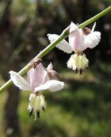 9 Semillas  Lirio - Arthropodium Milleflorum - Flores Jardín - Garden Samen Semi