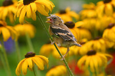 PRECIOUS BABY GOLDFINCH  FINE ART GREETING CARD