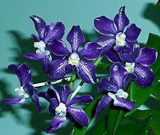 halbschatten orchideen pflanzen mit mittlerem wasserbedarf. Black Bedroom Furniture Sets. Home Design Ideas