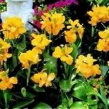 Canna - Tropical Series Yellow - 5 Seeds