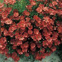 Coreopsis (Tinctoria)- Mahogany Midget- 50 Seeds