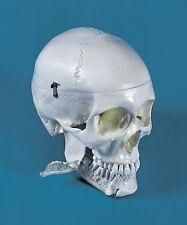 anatomisches Modell, Dental Schädel 4-teilig