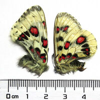 PAIR unmounted butterfly Papilionidae Parnassius nomion gabrieli A1 #E