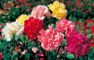 Carnation Superb Formula Mixed - 300 Seeds - Hardy Annual