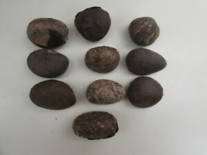 10 Whole Dry Tagua Nuts for Carving or Turning